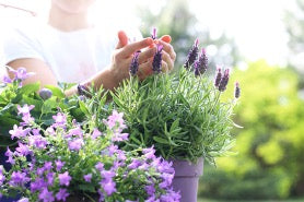 A pair of hands holding the top of a lavender plant, which sits next to more potted lavender.