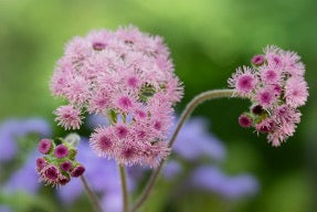 Close up of pink and purple flowers.