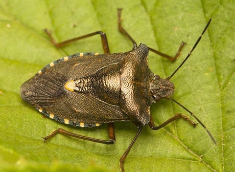 What is a stink bug and how to get rid of them - MosquitoNix