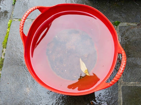 asian tiger mosquito breeding in bucket of water
