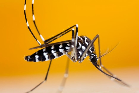 black and white striped asian tiger mosquito