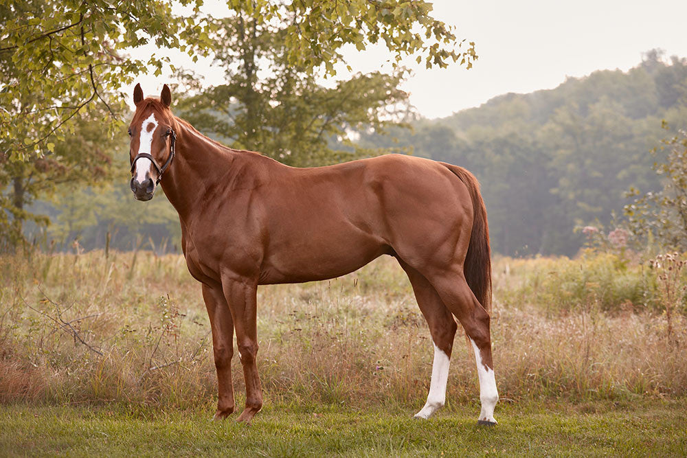Thoroughbred Collection - Mr. Zenman - Tracey Buyce Photography