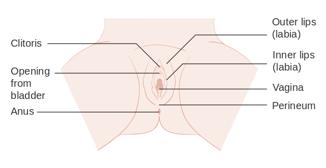 Anatomical drawing of the vulva showing the anus and perineum (source: Cancer Research UK / Wikimedia Commons)