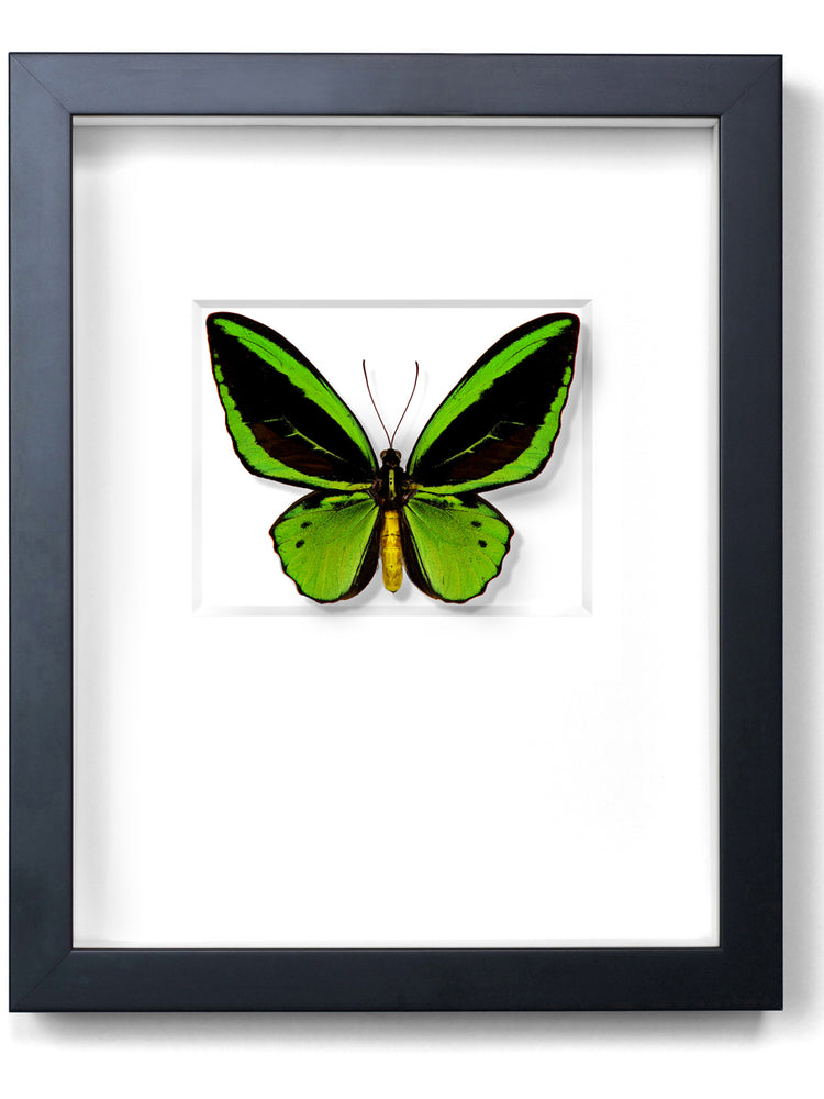 Framed Cairns Birdwing