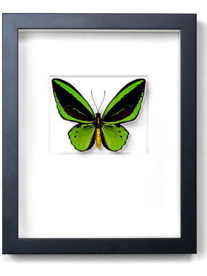 Load image into Gallery viewer, Framed Cairns Birdwing