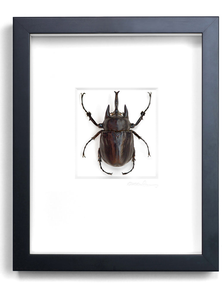 Load image into Gallery viewer, Framed Megasoma Beetle Insect
