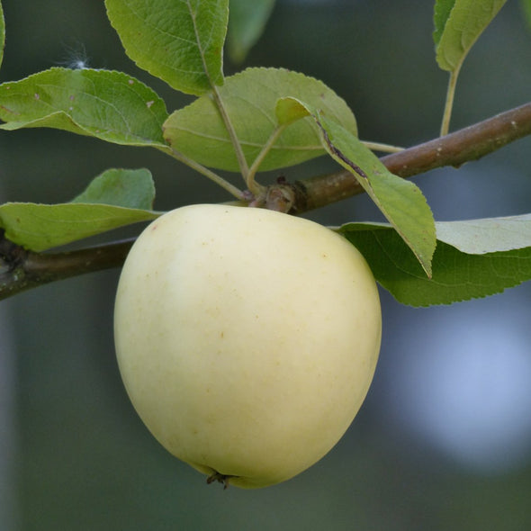 Seeds for Apple 'Antonovka' - (Malus pumila)
