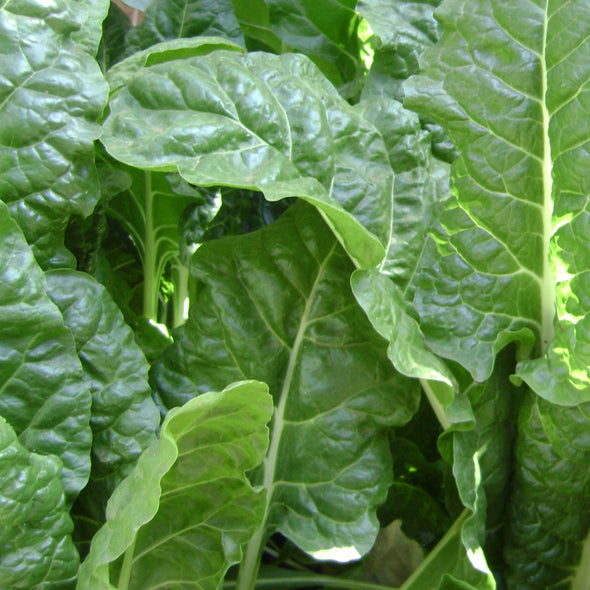Chard 'Perpetual Spinach' - (Beta vulgaris 'flavescens') seeds - amkha-seed.myshopify.com