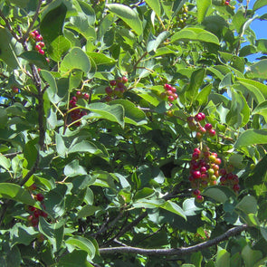 Pin Cherry Fruit (Prunus pensylvanica)