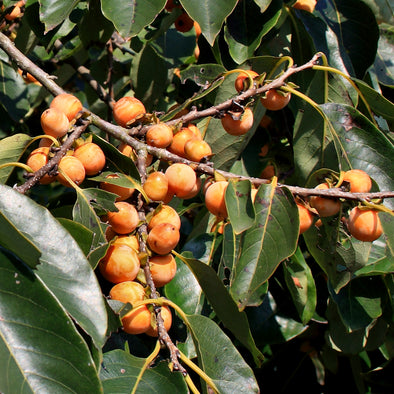 Date Plum Fruit (Diospyros lotus)