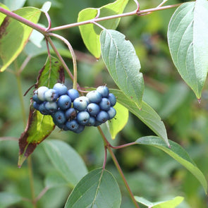 Silky Dogwood Fruit (Cornus amomum)