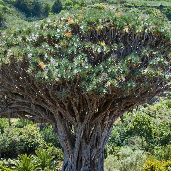 Dragon Tree - (Dracaena draco)