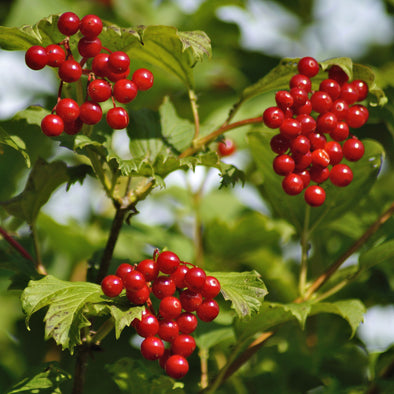European Cranberrybush Fruit - (Viburnum opulus)