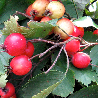 Red Hawthorn Fruit - (Crataegus mollis)