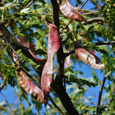 Honey Locust Pods - (Gleditsia triacanthos inermis)