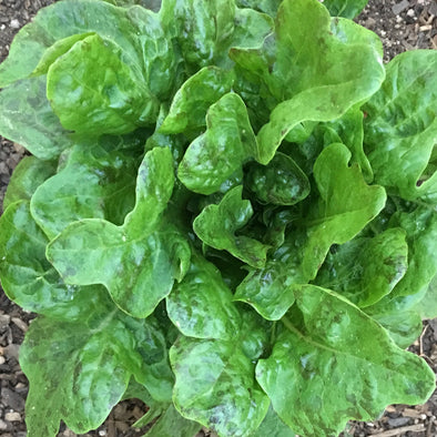 Lettuce (Leaf) 'Flashy Green Butter Oak Leaf' - (Lactuca sativa) seeds - amkha-seed.myshopify.com