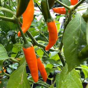 Pepper (hot) Aji Amarillo (Orange Peruvian) - (Capsicum baccatum) seeds - amkha-seed.myshopify.com