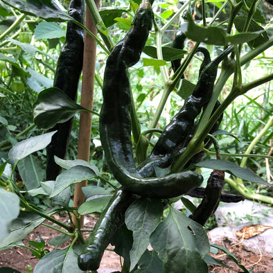 Pepper (hot) 'Chilaca (Mexican Negro)' - (Capsicum chinense) seeds - amkha-seed.myshopify.com