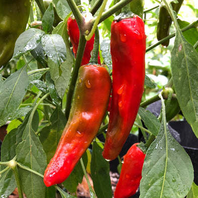 Pepper (hot) 'Costeno (red)' - (Capsicum annuum) seeds - amkha-seed.myshopify.com