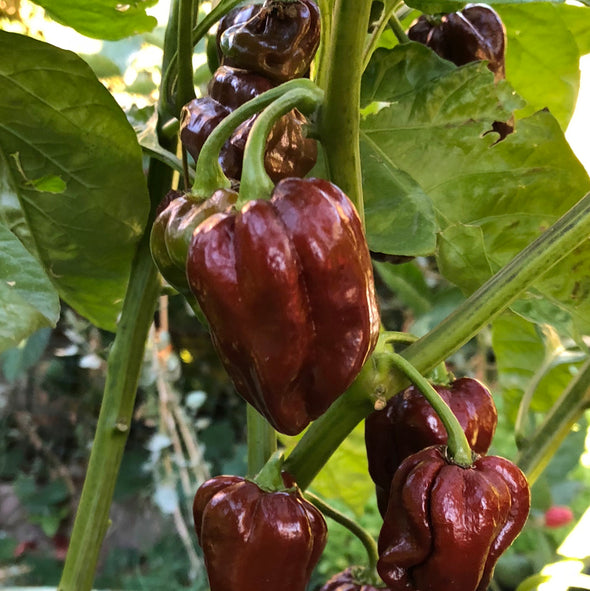 Pepper (hot) 'Habanero (Chocolate Brown)' - (Capsicum chinense) seeds - amkha-seed.myshopify.com