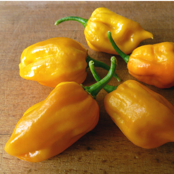 Pepper (hot) 'Habanero (yellow)' - (Capsicum chinense)