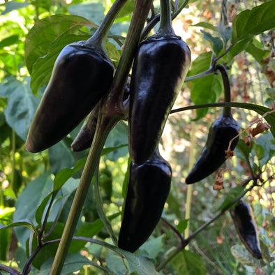 Pepper (hot) 'Jalapeno (purple)' - (Capsicum annuum) seeds - amkha-seed.myshopify.com