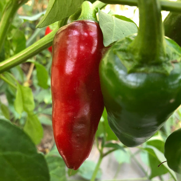 Pepper (hot) 'Jaluv An Attitude' - (Capsicum annuum) - OSSI seeds - amkha-seed.myshopify.com