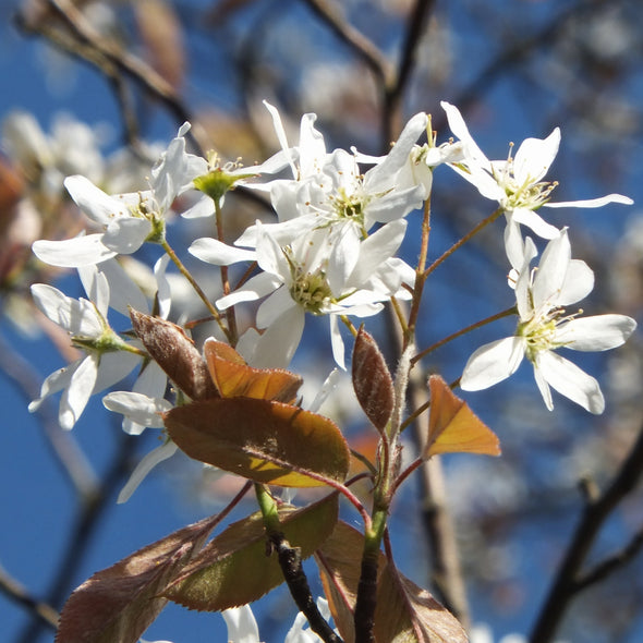 Smooth Serviceberry Flowers (Amelanchier laevis)