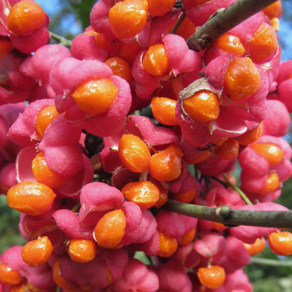 Spindle Tree Fruit (Euonymus europaeus)