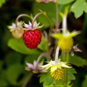 Strawberry (alpine) 'Italian' - (Fragaria vesca) seeds - amkha-seed.myshopify.com