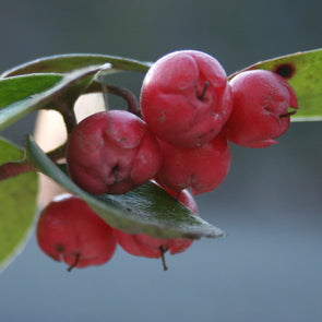 Wintergreen - (Gaultheria Procumbens)