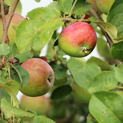 Apple Common - (Malus Pumila) Seeds