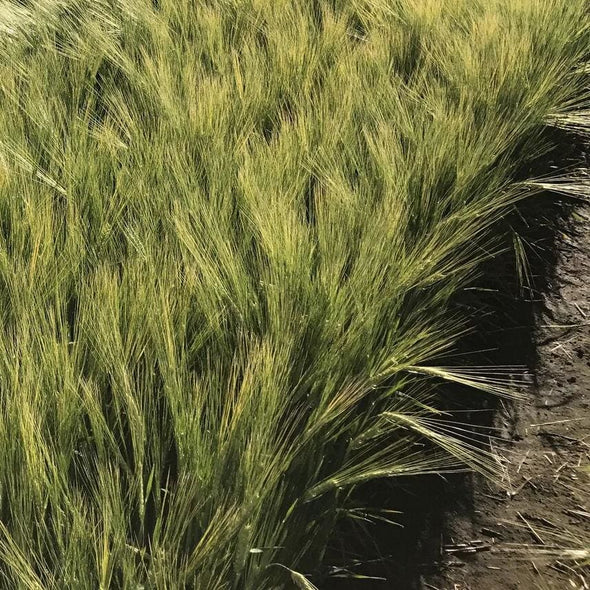 Barley Full Pint - (Hordeum Vulgare) Seeds