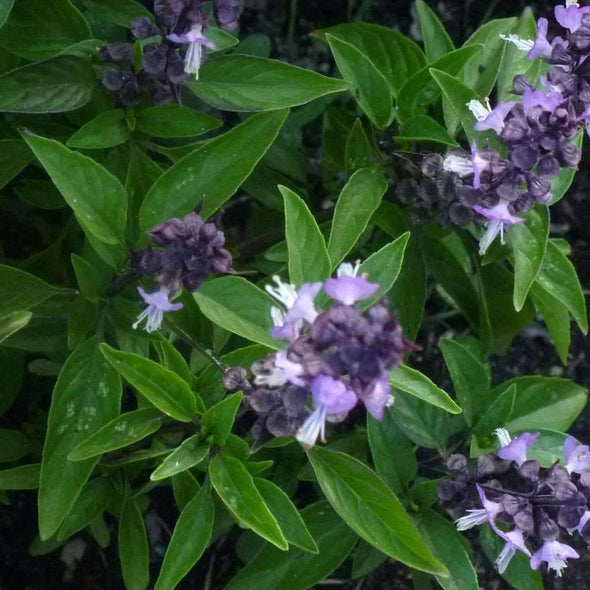 Basil Licorice - (Ocimum Basilicum Licorice) Seeds