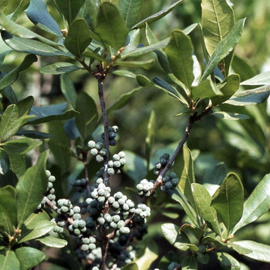 Bayberry Northern - (Myrica Pensylvanica) Seeds