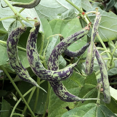 Bean (Bush/snap) Anellino Di Trento - (Phaseolus Vulgaris) Seeds
