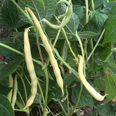 Bean (Bush/snap) Cherokee Wax - (Phaseolus Vulgaris) Seeds