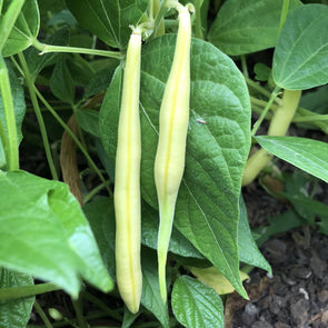 Bean (Bush/snap) Gold Rush Yellow - (Phaseolus Vulgaris) Seeds