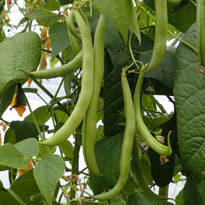 Bean (Bush/snap) Langstrath Stringless - (Phaseolus Vulgaris) Seeds