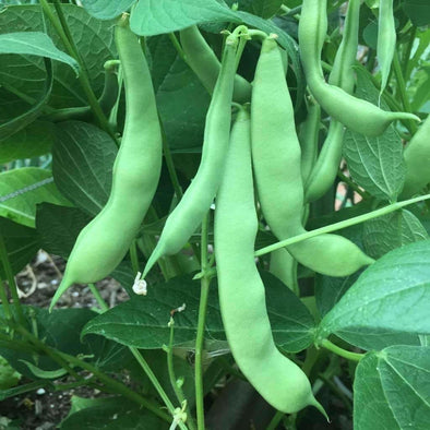 Bean (Bush/snap) Roma Ii - (Phaseolus Vulgaris) Seeds
