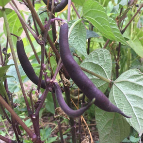 Bean (Bush/snap) Royal Burgundy - (Phaseolus Vulgaris) Seeds