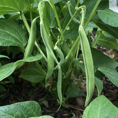 Bean (Bush/snap) Tenderette - (Phaseolus Vulgaris) Seeds