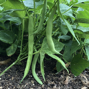 Bean (Bush/snap) Tendergreen Improved - (Phaseolus Vulgaris) Seeds