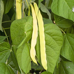 Bean (Pole/dry/snap) Gold Of Bacau Wax - (Phaseolus Vulgaris) Seeds