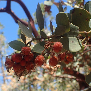 Bearberry Sticky Manzanita - (Arctostaphylos Viscida) Seeds