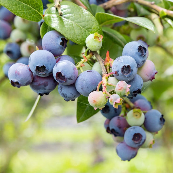 Blueberry Northern Highbush Mix - (Vaccinium Corymbosum) Seeds