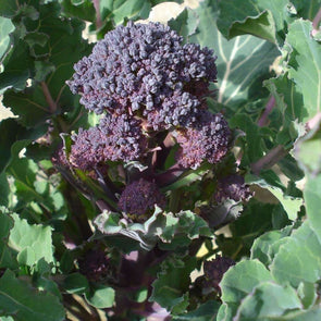 Broccoli Early Purple Sprouting - (Brassica Oleracea Italica) Seeds