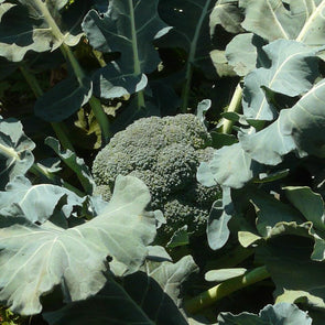 Broccoli Green Sprouting Calabrese - (Brassica Oleracea Italica) Seeds