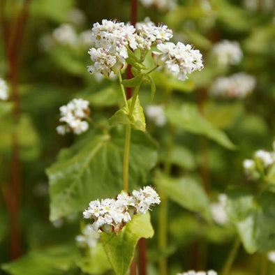Buckwheat - (Fagopyrum Esculentum) Seeds