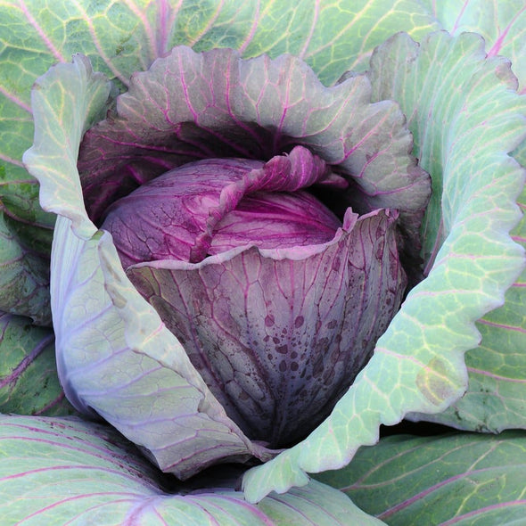 Cabbage Red Acre - (Brassica Oleracea Capitata) Seeds